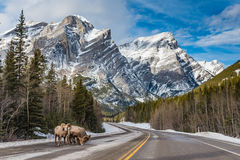Rocky Mountain Bighorn Sheep Ovis canadensis royaltyfri bild