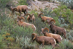 Rocky Mountain Bighorn Sheep Stock Photos