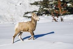 Rocky Mountain Bighorn Sheep (Ovis canadensis) Stock Photos