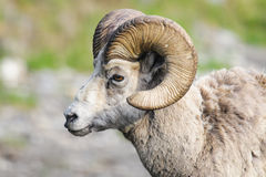 Rocky Mountain Bighorn Sheep (Ovis canadensis) Royalty Free Stock Photos