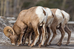 Rocky Mountain Bighorn Sheep Ovis canadensis. Rocky Mountain Bighorn Sheep on a mountain roadway in the early springtime royalty free stock photos