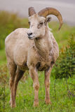 Rocky Mountain Bighorn Sheep (Ovis canadensis) Stock Photo