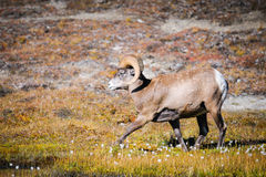 Rocky Mountain Bighorn Sheep (Ovis canadensis) Stock Images