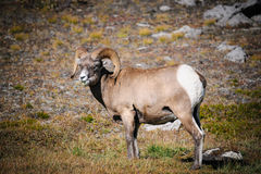 Rocky Mountain Bighorn Sheep (Ovis canadensis) Royalty Free Stock Images
