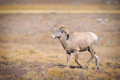 Rocky Mountain Bighorn Sheep (Ovis canadensis) Royalty Free Stock Photo