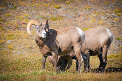 Rocky Mountain Bighorn Sheep (Ovis canadensis) Stock Photography