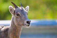 Rocky Mountain Bighorn Sheep (Ovis canadensis) Royalty Free Stock Photos