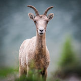 Rocky Mountain Bighorn Sheep (Ovis canadensis) Stock Photos