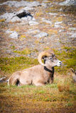 Rocky Mountain Bighorn Sheep (Oviscanadensis) Royaltyfria Foton