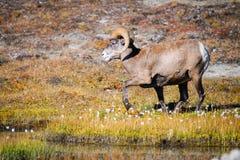 Rocky Mountain Bighorn Sheep (Oviscanadensis) Royaltyfri Foto