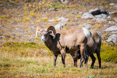 Rocky Mountain Bighorn Sheep (Oviscanadensis) Royaltyfri Bild