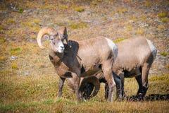 Rocky Mountain Bighorn Sheep (Oviscanadensis) Arkivbild