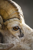 Rocky Mountain Bighorn Sheep (Oviscanadensis) Royaltyfria Bilder