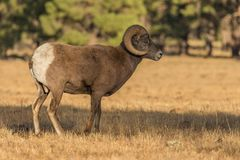 Rocky Mountain Bighorn Sheep Ram royaltyfri bild