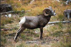 Rocky Mountain Bighorn Sheep Ram. Rocky Mountain big horn sheep. Full curl ram. Scientific name Ovis canadensis stock photos