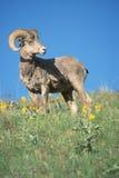 Rocky Mountain Bighorn Sheep Ram Stock Photo
