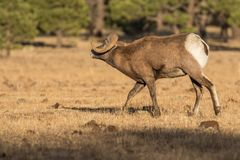 Bighorn Sheep Ram Rutting in Fall. Rocky mountain bighorn sheep ram during the fall rut in Arizona Stock Images