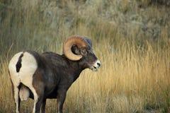 Rocky Mountain Bighorn Sheep. Rocky Mountain Bighorn Ram near Big Sky, Montana Royalty Free Stock Images