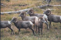 Rocky Mountain Bighorn Sheep Rams fotografie stock