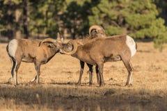 Bighorn Sheep Rams in Rut. Rocky mountain bighorn sheep rams during the fall rut in Arizona stock image