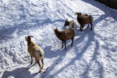 Rocky Mountain Bighorn Sheep walking on the snow Winter stock photos