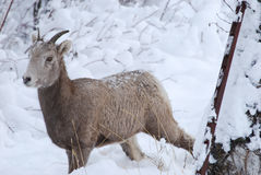 Rocky Mountain Bighorn Sheep, Winter Mountains, Montana Royalty Free Stock Photos