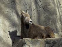 Rocky Mountain Bighorn Sheep in a Zoo. Rocky Mountain Bighorn Sheep in Denver Zoo stock photography