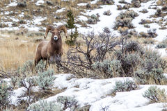 Rocky Mountain Bighorn Stock Images