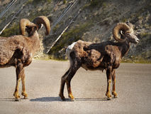 Rocky Mountain Bighorn, Wild Sheep Royalty Free Stock Images