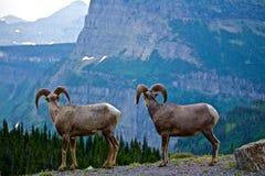 Rocky Mountain Bighorns übersehen Tal Stockfotos