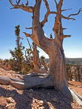 Rocky Mountain Bristlecone Royalty Free Stock Photos