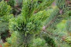 Rocky Mountain Bristlecone Pine Stock Photography