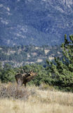 Rocky Mountain bugle. A lone bull elk bugles during the fall rut mating season in Rocky Mountain national park near Estes Park Stock Photo