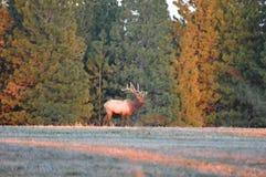 Rocky Mountain Bull Elk. Blue Mountains of Washington Royalty Free Stock Photos