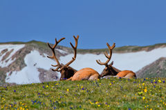 Rocky Mountain Bull Elk Lying in the Tundra. Rocky Mountain Bull Elk enjoying a lazy afternoon in the wildflowers of the Tundra in Rocky Mountain National Park royalty free stock photography