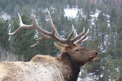 Rocky Mountain Bull Elk Profile Stock Images