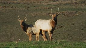 A rocky mountain bull elk. And its harem in an open meadow on a fall morning in Rocky Mountain National Park