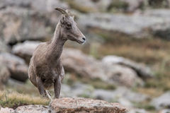Rocky mountain colorado mountain goat Stock Images