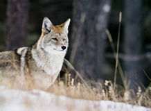 Rocky Mountain Coyote. January 2010 royalty free stock photos