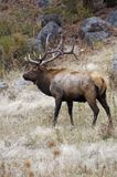 Rocky Mountain Elk. A beautiful elk buck stands in Rocky Mountain National Park in Colorado royalty free stock photo