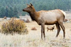 Rocky Mountain Elk. A beautiful elk doe stands in Rocky Mountain National Park in Colorado stock photos