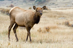Rocky Mountain Elk Stock Photo