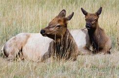 Rocky Mountain Elk Royalty Free Stock Image