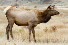 Rocky Mountain Elk. A beautiful elk doe stands in Rocky Mountain National Park in Colorado royalty free stock photo