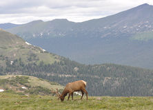 Rocky Mountain Elk. This is a photo of a male Elk taken in Rocky Mountain National Park Royalty Free Stock Photography