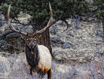 Rocky mountain elk Royalty Free Stock Photography