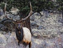 Rocky mountain elk Royalty Free Stock Photography