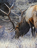 Rocky mountain elk Royalty Free Stock Photos