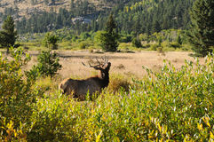Rocky Mountain Elk Royalty Free Stock Photo
