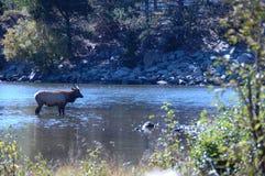 Rocky Mountain Elk 23. Large elk in a Colorado stream Stock Image